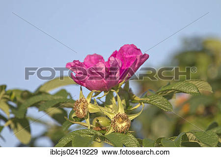 Stock Photograph of Japanese Rose or Ramanas Rose (Rosa rugosa.