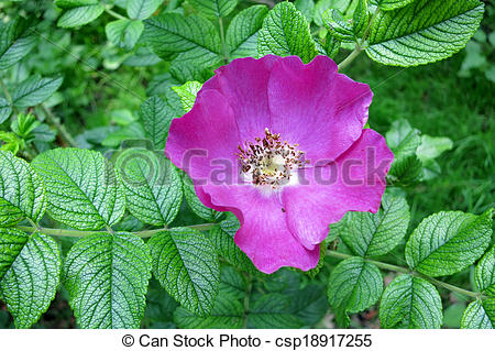 Stock Images of Rugosa rose or Japanese rose (Rosa rugosa.