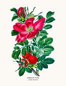 Rosa Rugosa Clip Art, Vector Images & Illustrations.