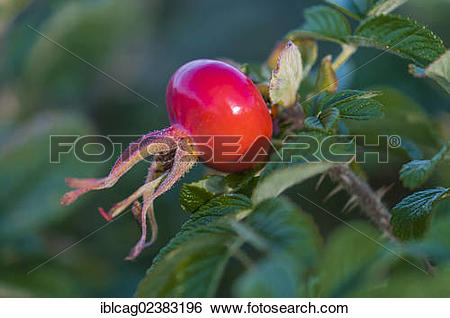 Stock Images of Rosehip of a Rugosa Rose or Beach Tomato (Rosa.