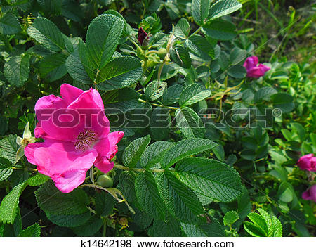 Pictures of Rosa rugosa k14642198.