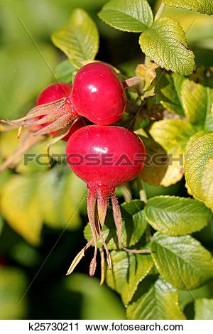 Stock Photography of Rose Hips of Rosa Rugosa in Autumn k25730211.