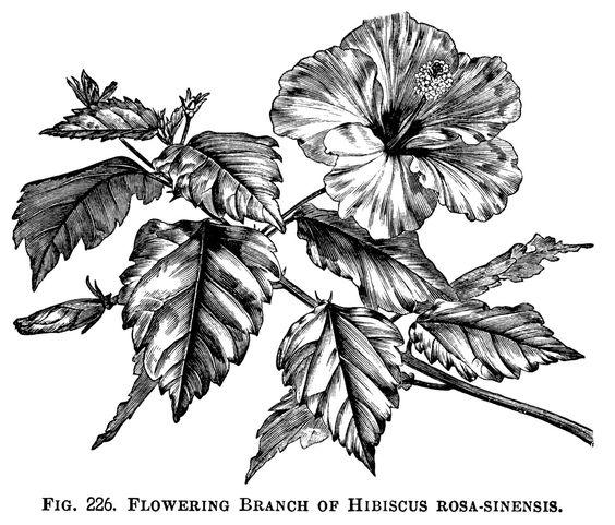 Hibiscus rosa sinensis, Hibiscus and Clip art on Pinterest.