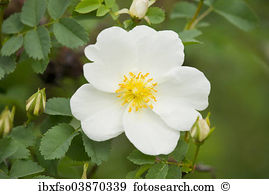 Rosa spinosissima Stock Photo Images. 12 rosa spinosissima royalty.