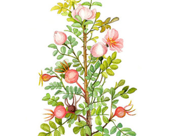 Botanical Watercolor Prints And Paintings by WatercolorsByMonika.
