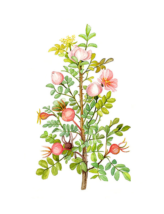 Rosa Spinosissima Floral Botanical Print Illustration Watercolor.