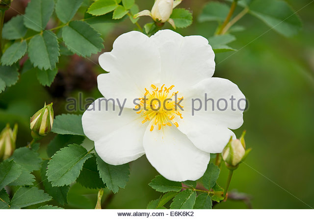Burnet Rose Rosa Spinosissima Stock Photos & Burnet Rose Rosa.