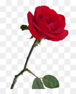 Rosa Vermelha PNG and Rosa Vermelha Transparent Clipart Free.