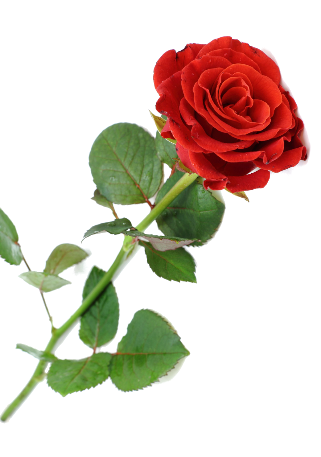 Rosa vermelha png clipart images gallery for free download.