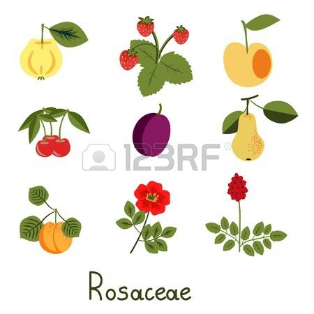 159 Rosaceae Cliparts, Stock Vector And Royalty Free Rosaceae.
