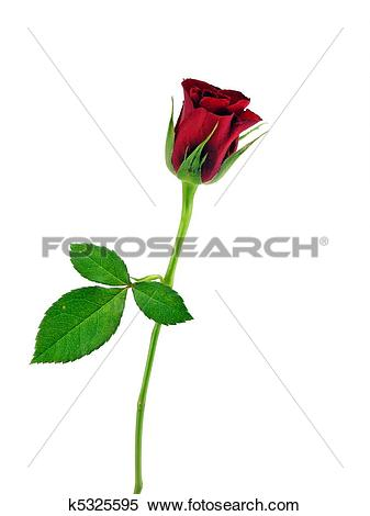 Stock Image of A single red rose.