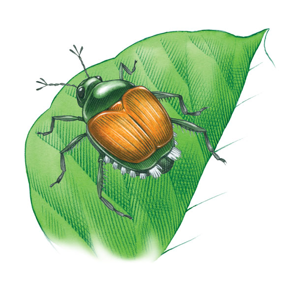 Prevent Japanese Beetle Damage With These Organic Pest Control.