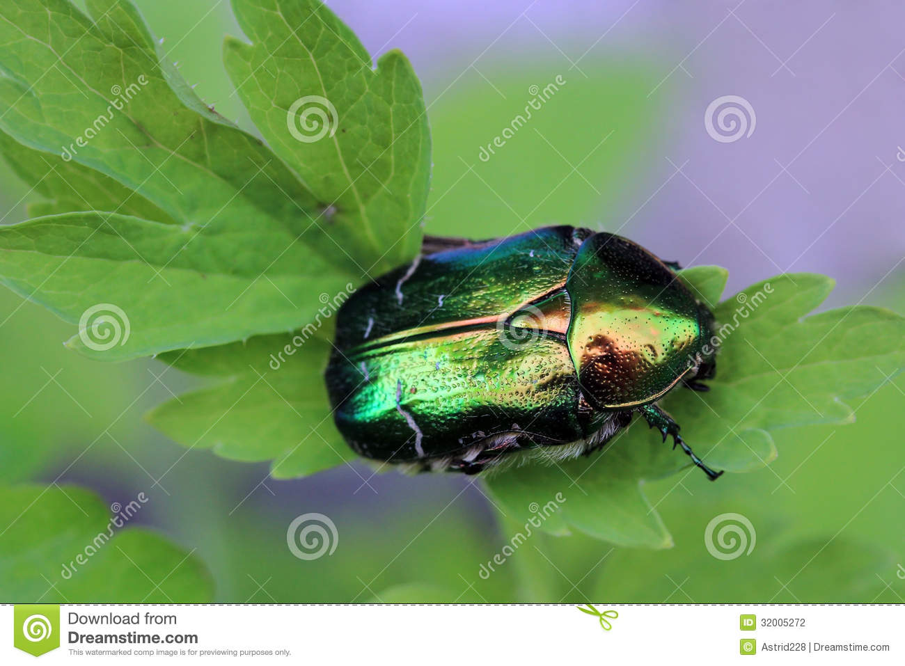 The Rose Beetle Stock Photography.