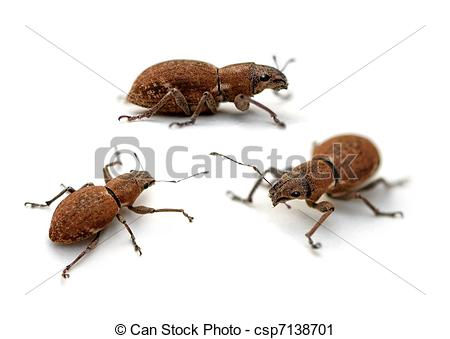 Stock Photography of Weevil.