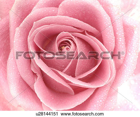Stock Photography of Pink rose blossom, close up u28144151.