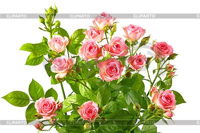 Rose shrubs clipart.