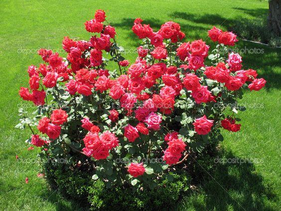 rose bush pics.