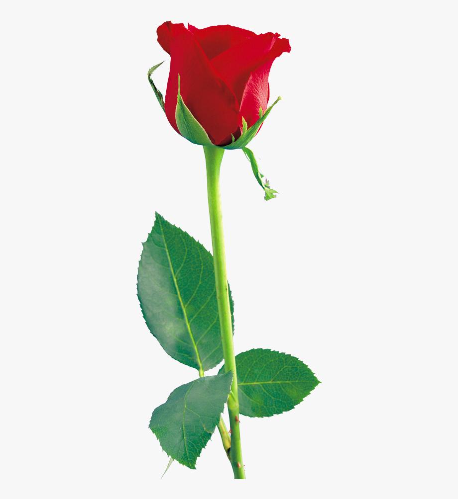Magenta Single Rose Clip Art Clipart Free Download.