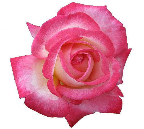 Roses With Transparent Background Pictures to Pin on Pinterest.