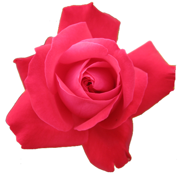 Red Rose Transparent Isolated.
