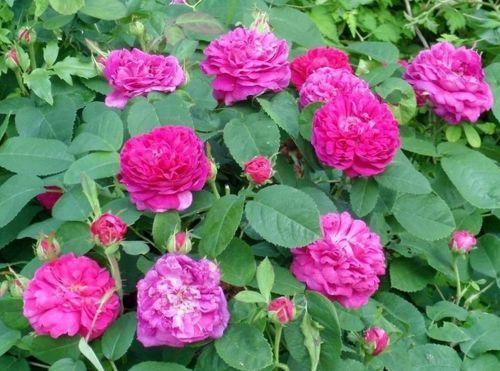 Rosa Rose de Resht.