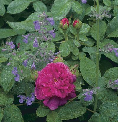 Rosa 'Rose de Rescht'.