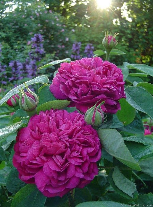 1000+ ideas about Heirloom Roses on Pinterest.