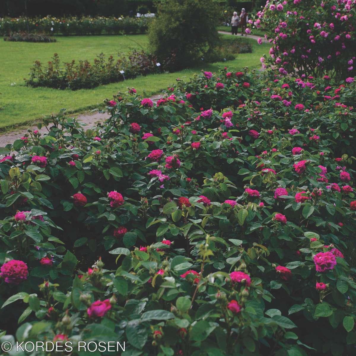 PARKROSE 'Rose de Resht'.