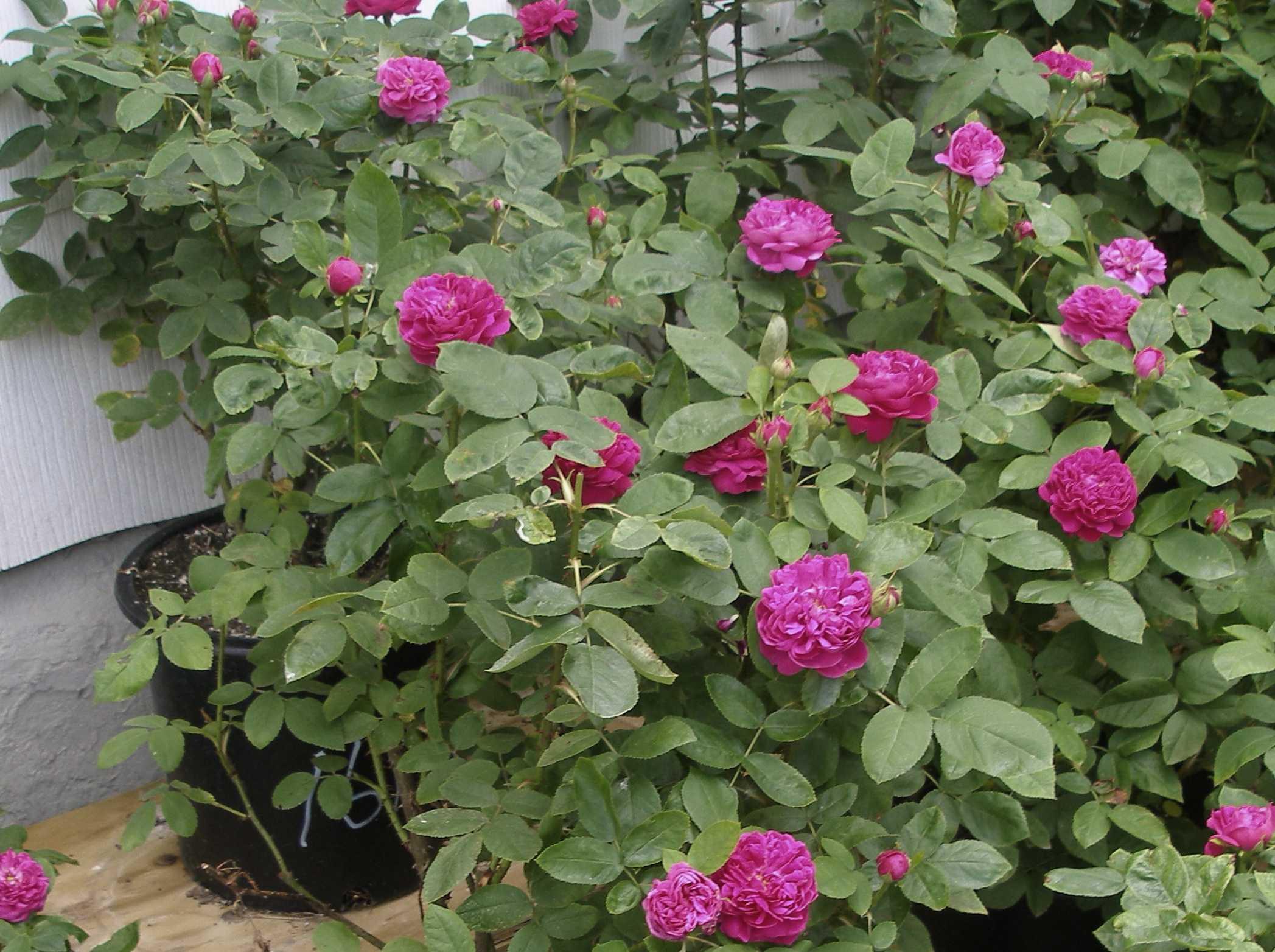 Crop #161 (picture of) 'Rose de Rescht', Portland Rose, zones 4 or.