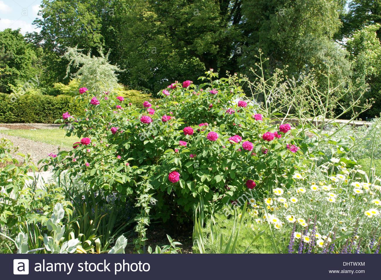 Rose De Resht Stock Photo, Royalty Free Image: 62627452.