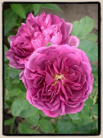Rose de Rescht seedling..