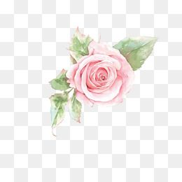 Pink Rose Flower, Rose Clipart, Flower Clipart, Flowers PNG.