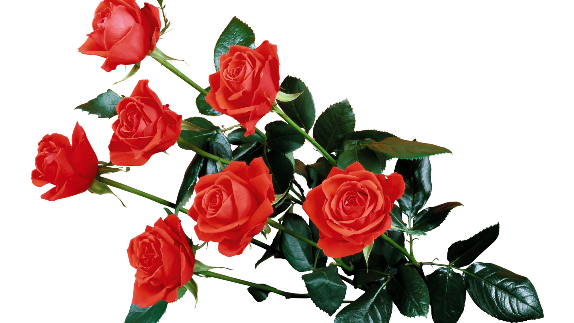 Rose HD PNG Transparent Rose HD.PNG Images..