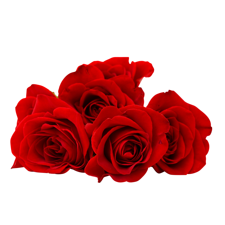 Red Rose Flower PNG Image Free Download searchpng.com.
