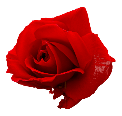 Download ROSE Free PNG transparent image and clipart.