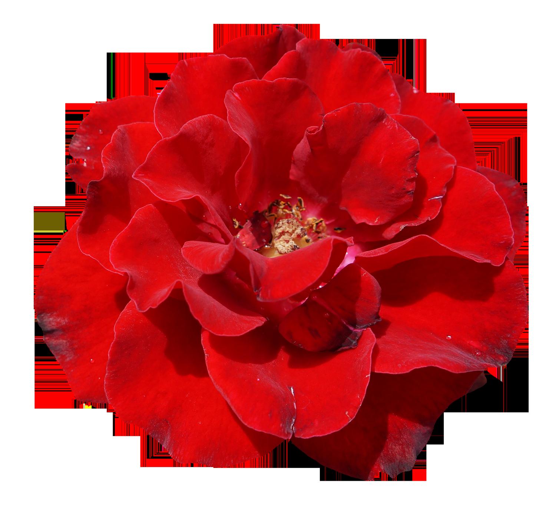 Rose Flower PNG Image.