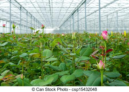 Stock Photo of greenhouse with roses.