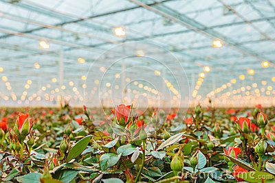 Red Roses Growing Inside A Greenhouse Stock Photo.