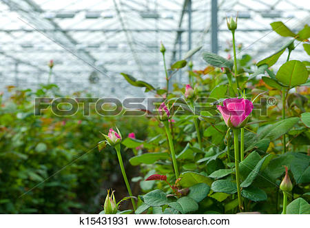 Stock Photography of greenhouse with roses k15431931.
