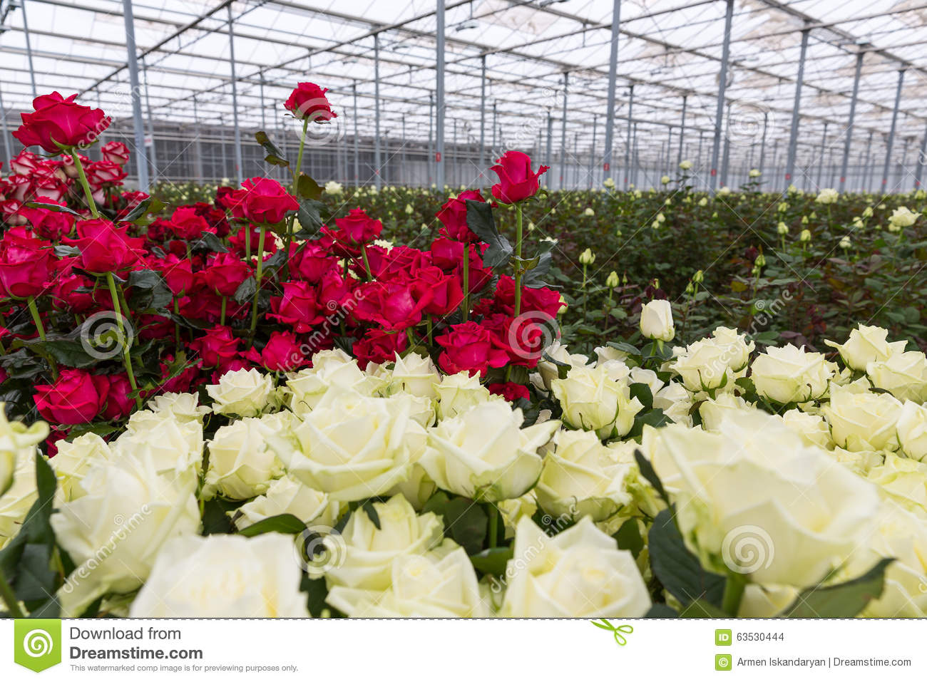 Greenhouse Red And White Roses Stock Photo.