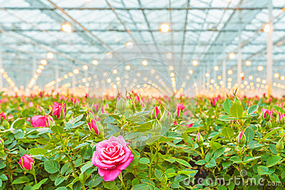 Rose Cultivation In A Dutch Greenhouse Royalty Free Stock.