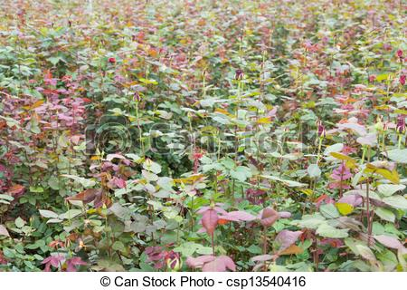 Stock Photography of Rose cultivation in a Dutch greenhouse.