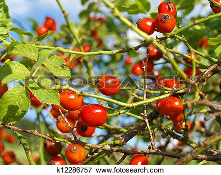Picture of rose hip, rose haw, Rosa canina k12286757.