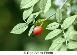 Stock Images of rose hip, rose haw, Rosa canina csp12286757.