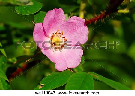 Picture of Rose hip, rose haw Rosa Lake Baikal, Siberia, Russian.