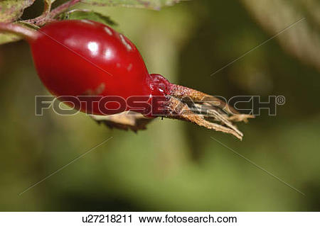 Stock Photography of rose fruit hip berry in scenic alberta haw.