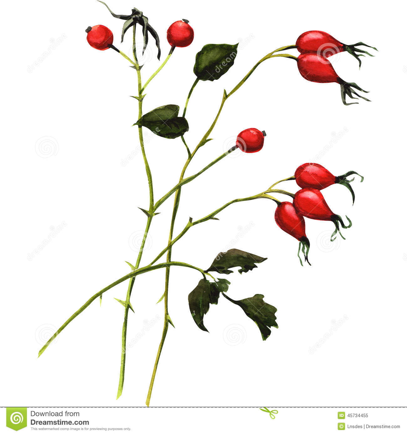 Rosehip Stock Illustrations.