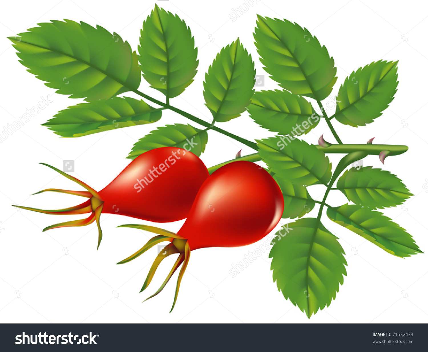 Branch Wild Rose Hips Vector Illustration Stock Vector 71532433.