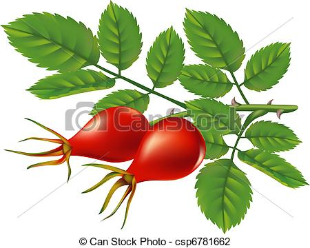 Vector Illustration of A branch of wild rose hips. Vector.