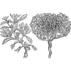Rose of Jericho Clipart.